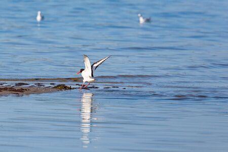 waders: Alas extendidas Ostrero en la playa Foto de archivo