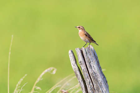 chats: Stonechat sitting on a pole in summer Stock Photo