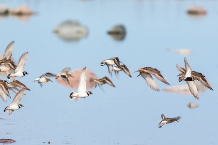 wading: Flock of wading birds flying at the beach Stock Photo