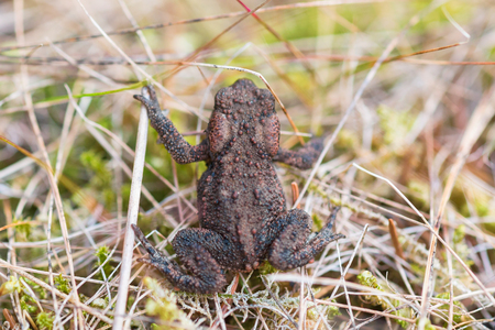 animals amphibious: Common toad crawling in the grass