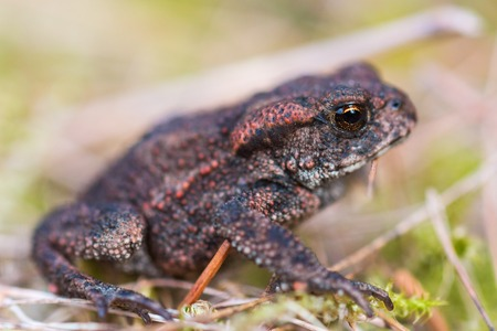 animals amphibious: Common toad in the grass