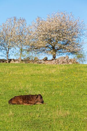 Calf resting on the meadow in spring photo