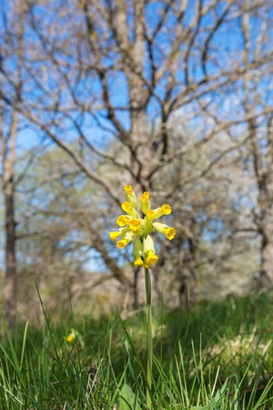 cowslip: Cowslip with trees in the meadow