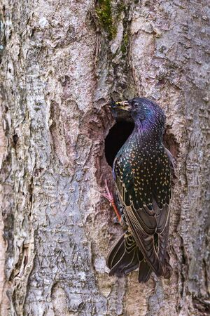 beak: Starling at the nesting hole with insects in its beak