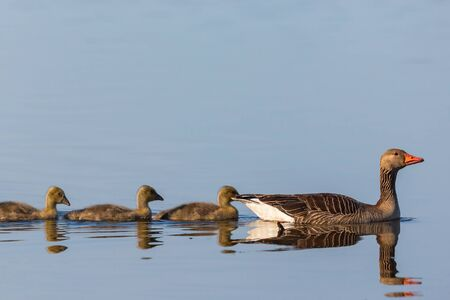 greylag: Greylag goose swimming with their young birds Stock Photo