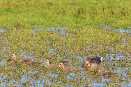 Greylag Goose and many small goslings in water photo