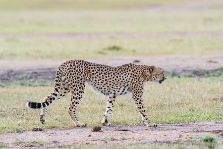 masai mara: Cheetah walk on the savanna in Masai Mara