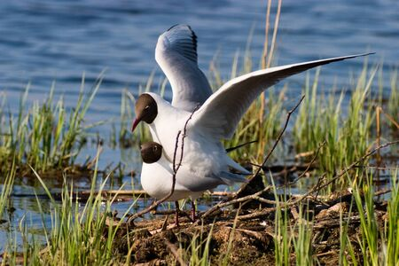 mating: Black headed gull mating