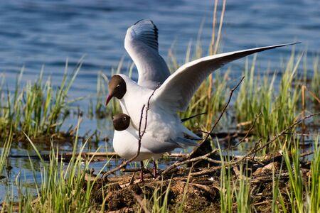 copulate: Black headed gull mating