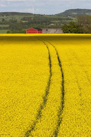 oilseed: Field of flowering oilseed Stock Photo