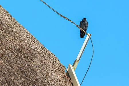 coloeus: Jackdaw sitting on a pole on a thatched roof Stock Photo