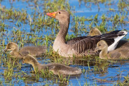 greylag: Greylag Goose family swimming in a lake at spring
