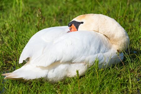 mute swan: Mute swan lying and resting in the grass