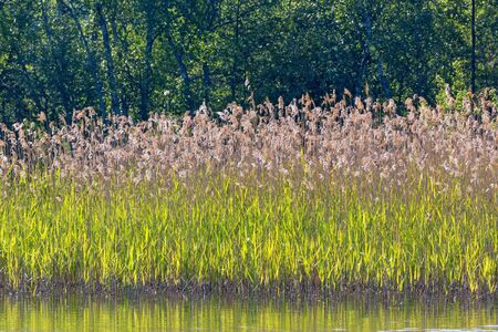 Reeds on the shore of the river photo