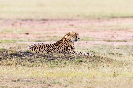 liying: Cheetah lying on the savanna and looking Stock Photo