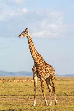 walk in: giraffe walk in the savannah