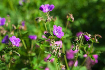 fiori di campo: Fioritura fiori di legno geranio su un prato