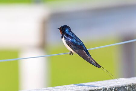 barn swallow: Barn Swallow sitting on a wire Stock Photo