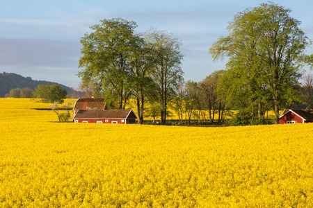Flowering rape fields with houses in countryside landscape