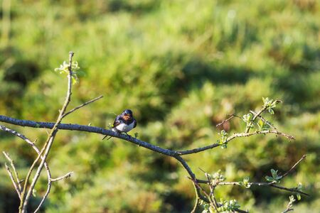 barn swallow: Barn Swallow with nesting material in the beak on a tree branch Stock Photo
