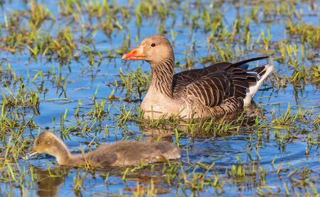 Greylag Goose with two gosling swimming in a lake photo