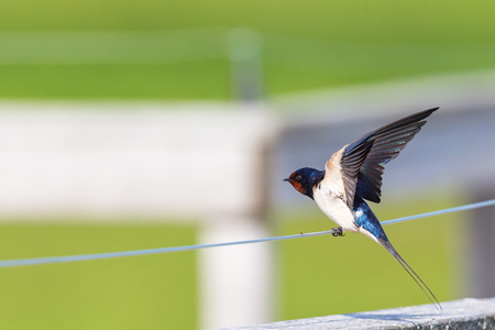 spread wings: Barn Swallow sitting on a wire and spread wings