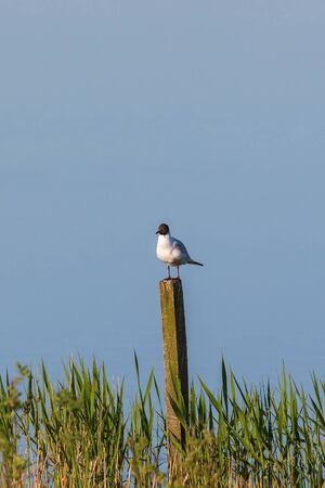 headed: Black headed gull sitting on a pole at the lake and resting