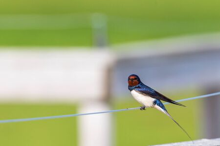 barn swallow: Barn Swallow sitting on a wire and looking