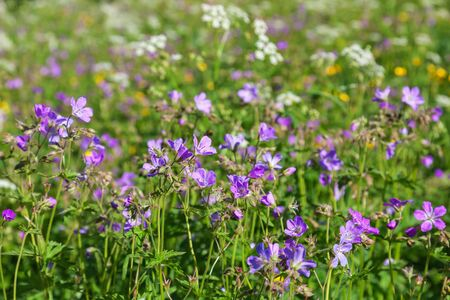 cranesbill: Wood cranesbill flowers in the meadow Stock Photo