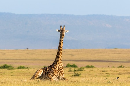 Giraffe lying down on the savanna landscape in Masai Mara