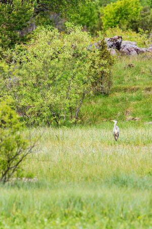 grey heron: Grey heron standing in a marshland
