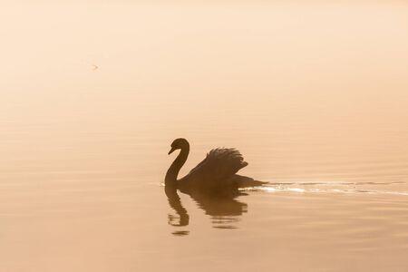 mute swan: Mute swan in misty morning light Stock Photo