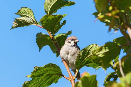 treetop: Tree Sparrow sitting in a treetop