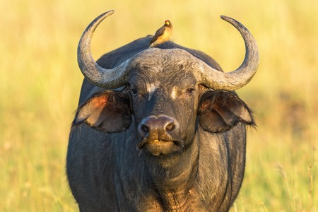 oxpecker: African buffalo staring at you and with a yellow-billed oxpecker on the back Stock Photo