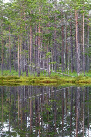 waters edge: Water reflection of a pine trees at the waters edge