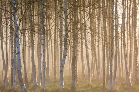 luz natural: Amanecer niebla en el bosque de abedul Foto de archivo