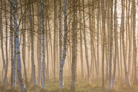 bark: Sunrise fog in birch tree forest