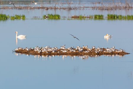 sweden resting: Black headed Gull colony on a small island in the lake