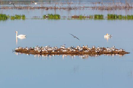 black headed: Black headed Gull colony on a small island in the lake