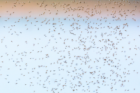 Mosquitoes flying and swarming in the air Imagens