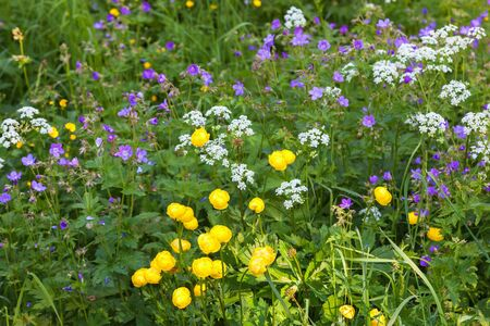 Blomming globe flowers and wood cranesbill and many other flowers on a meadow