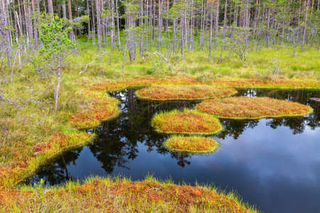 bogs: Reflections in a forest puddle with moss islands in the bog Stock Photo