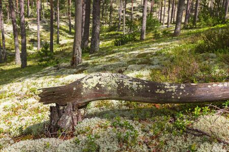 Trees that have fallen in the pine tree forest Stock Photo - 41619664