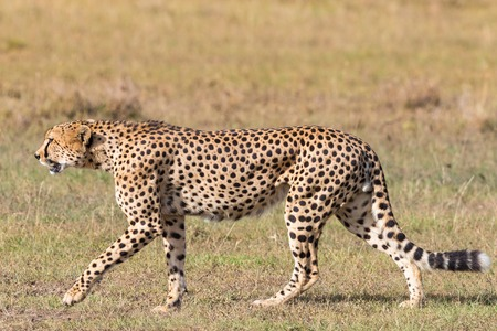 savannah: Cheetah walking on the savannah