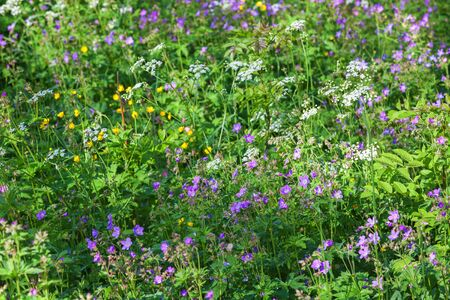 cranesbill: Blomming meadow with wood cranesbill and many other flowers