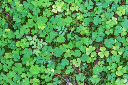 wood sorrel: Wood sorrel on the ground in the forest