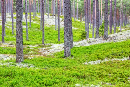 blueberry bushes: Pine Tree forest with a blueberry bushes on the ground