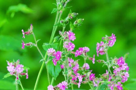 fleurs des champs: Campion Rouge fleurs sauvages à une prairie en été Banque d'images