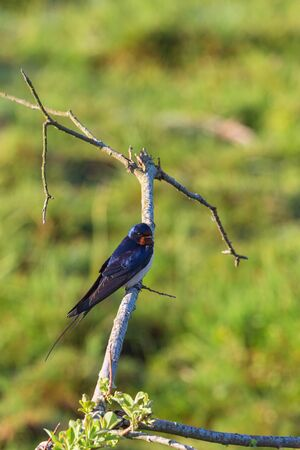 barn swallow: Barn swallow sitting on a branch and rest