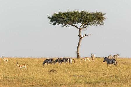animales safari: Las cebras y gacelas en un árbol solitario en la sabana